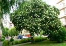 Drzewo bzu czarnego z Rzeszowa z szansą na tytuł Drzewa Roku 2019 - Aktualności Rzeszów