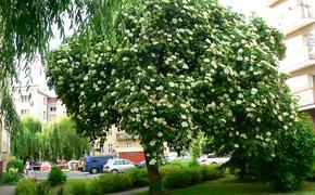 Czarny bez z Rzeszowa najpiękniejszym drzewem w Polsce
