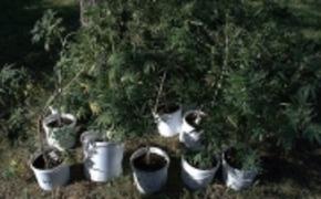 | 270 krzak�w konopi w domu i uprawa w lesie