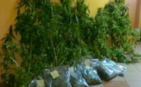   Policjanci skonfiskowali 3,5 kilograma konopii