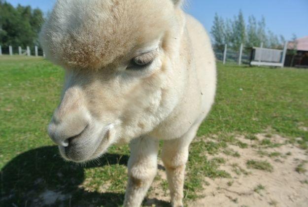 Aktualności Rzeszów | Młode alpaki będą pomagać dzieciom