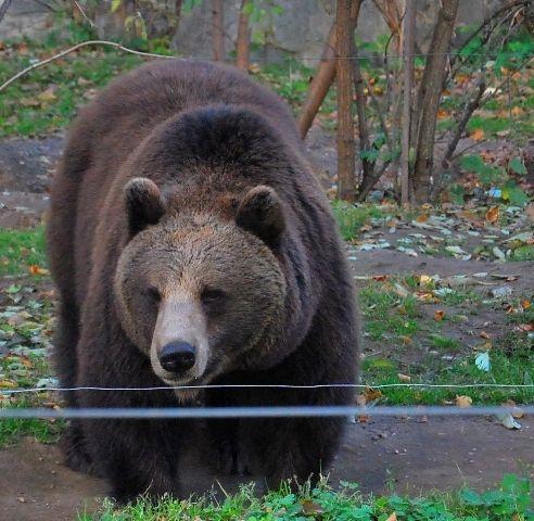 Aktualności Podkarpacie | Niedźwiedź zaatakował ratowników