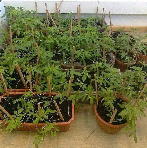 Aktualności Podkarpacie | Ujawniono ponad 450 sadzonek konopii
