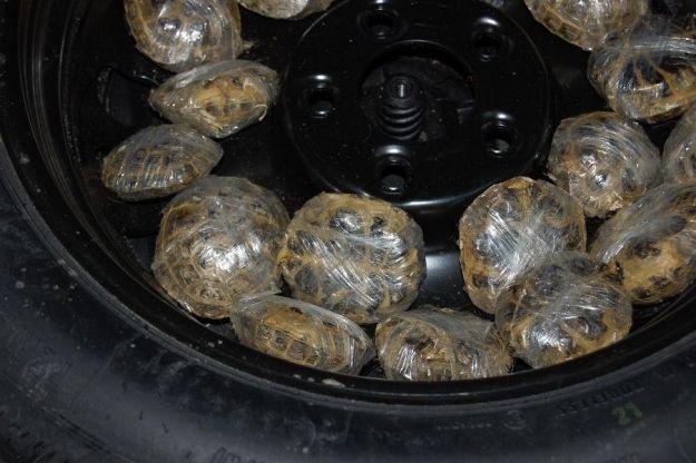 Aktualności Podkarpacie | Nieudany przemyt 200 żółwi
