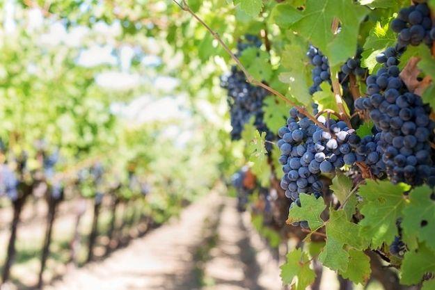 Aktualności Podkarpacie | Winiarz z Podkarpacia stworzył nowe odmiany winorośli. Owoce nadają się do win likierowych