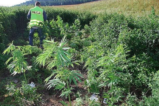 Aktualności Podkarpacie | Plantacje konopii indyjskich na polach dawnego PGR