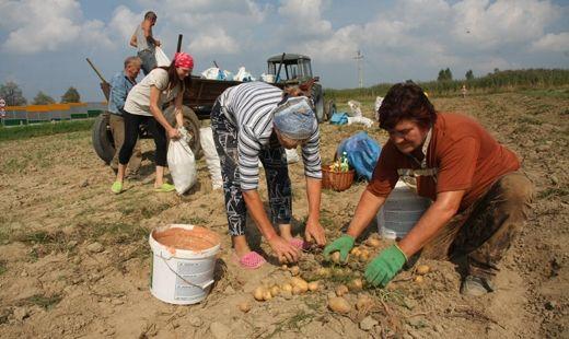 Aktualności Podkarpacie | Ziemniaki będą kosztować dwa razy więcej