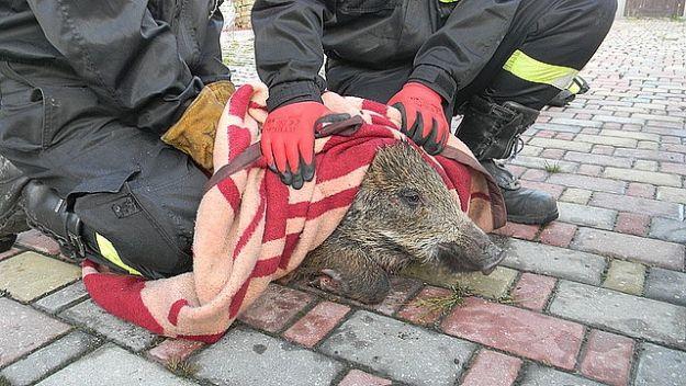 Aktualności Podkarpacie   Dzik na ulicach Kolbuszowej