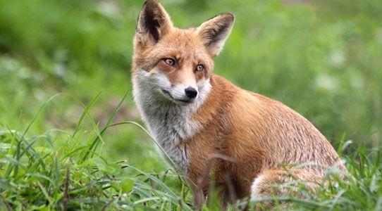 Aktualności Podkarpacie | Jesienna akcja szczepienia lisów