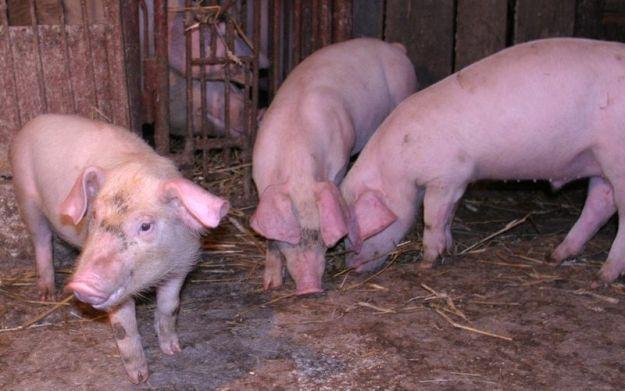 Aktualności Podkarpacie | Świnie mają mieć… zabawki
