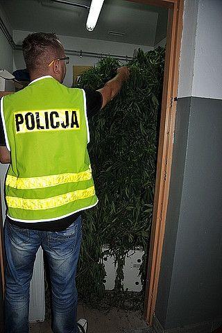 Duża plantacja marihuany odnaleziona przez policję - Aktualności Podkarpacie