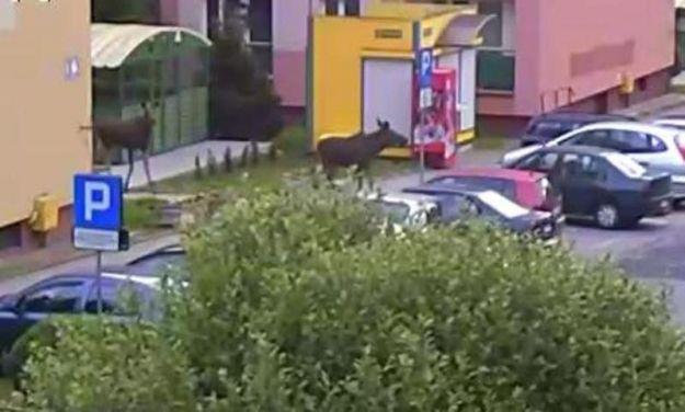 Łosie zniszczyły auto zaparkowane w centrum miasta - Aktualności Podkarpacie