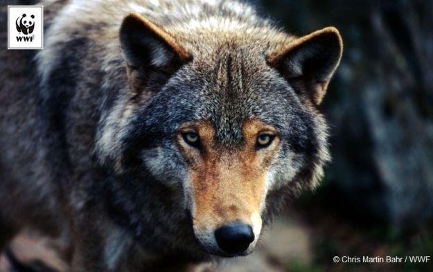 Rzeszowianie, KSU i Wataha w podróży zawyją dla wilków - Aktualności Rzeszów