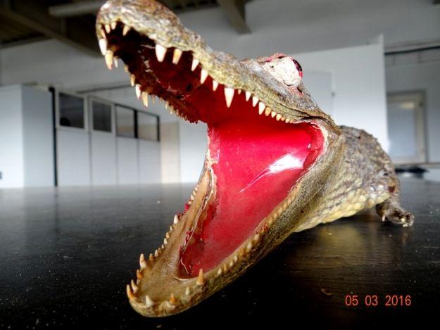 41-latek próbował przemycić krokodyla - Aktualności Podkarpacie
