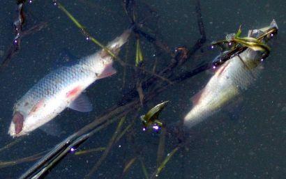 Ryby wrócą do zatrutego zalewu  - Aktualności Rzeszów