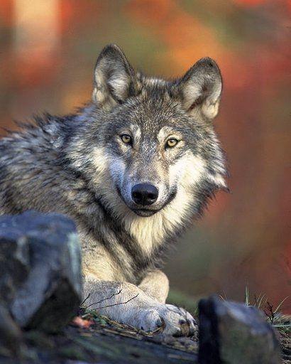 Agresywny wilk grasuje w okolicach Birczy  - Aktualności Podkarpacie