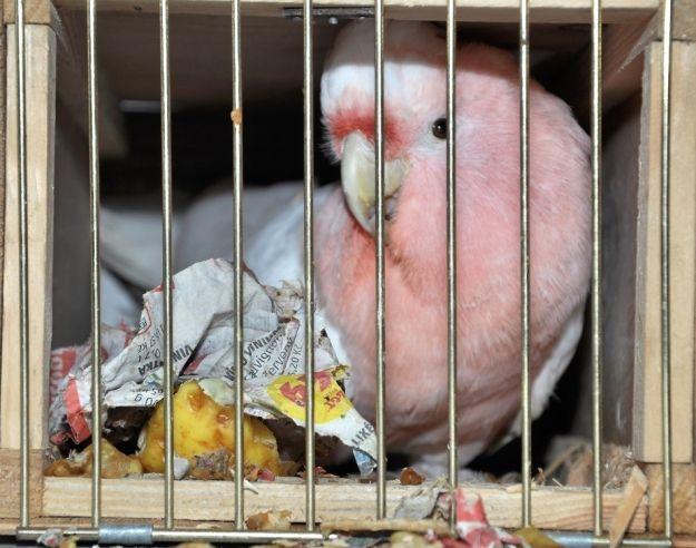 Obywatel Ukrainy chciał przewieźć przez granice papugi objęte ochroną - Aktualności Podkarpacie