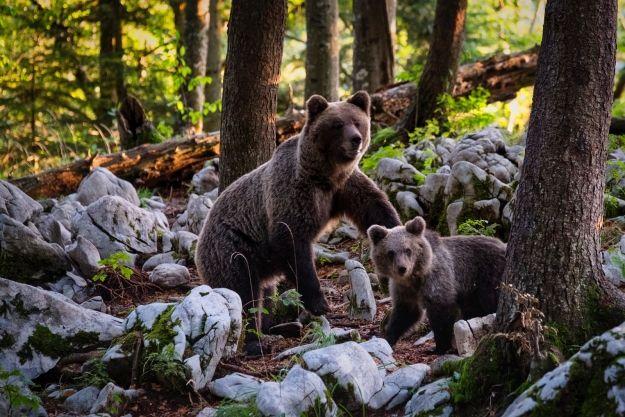 Czy w podkarpackich lasach są niedźwiedzie? - art. sposn.
