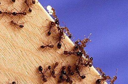 Walka z mrówkami w Rzeszowie  - Aktualności Rzeszów