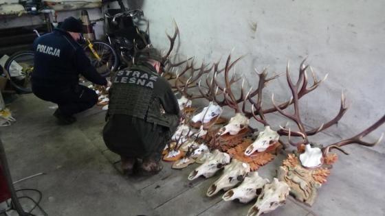 50-letni kłusownik złapany. W jego domu znaleziono wieńce jeleni, parostki kozłów oraz czaszki jeleni - Aktualności Podkarpacie