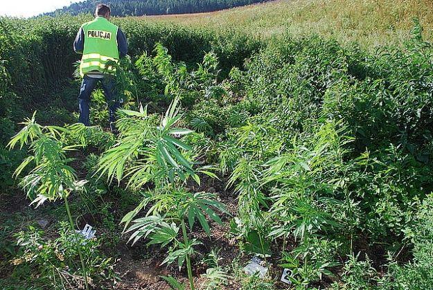 Plantacje konopii indyjskich na polach dawnego PGR - Aktualności Podkarpacie