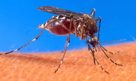 Uwaga na komary – roznoszą groźną chorobę - Aktualności z Kraju
