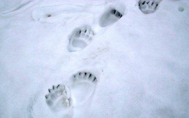 Mimo powrotu zimy niedźwiedzie aktywne - Aktualności Podkarpacie