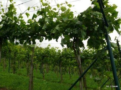 Podkarpackie winnice czekają na turystów  - Aktualności Podkarpacie