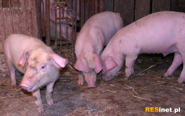 Świnie mają mieć… zabawki - Aktualności Podkarpacie
