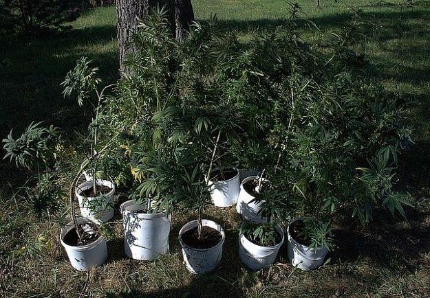 Rozpowszechniali narkotyki z własnej uprawy - Aktualności Podkarpacie